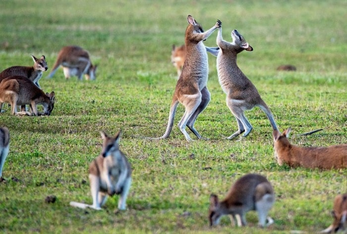 """2 kangaroos fighting each other along with the kangaroos lying down on a grass field that represents the """"common and serious assaults""""."""